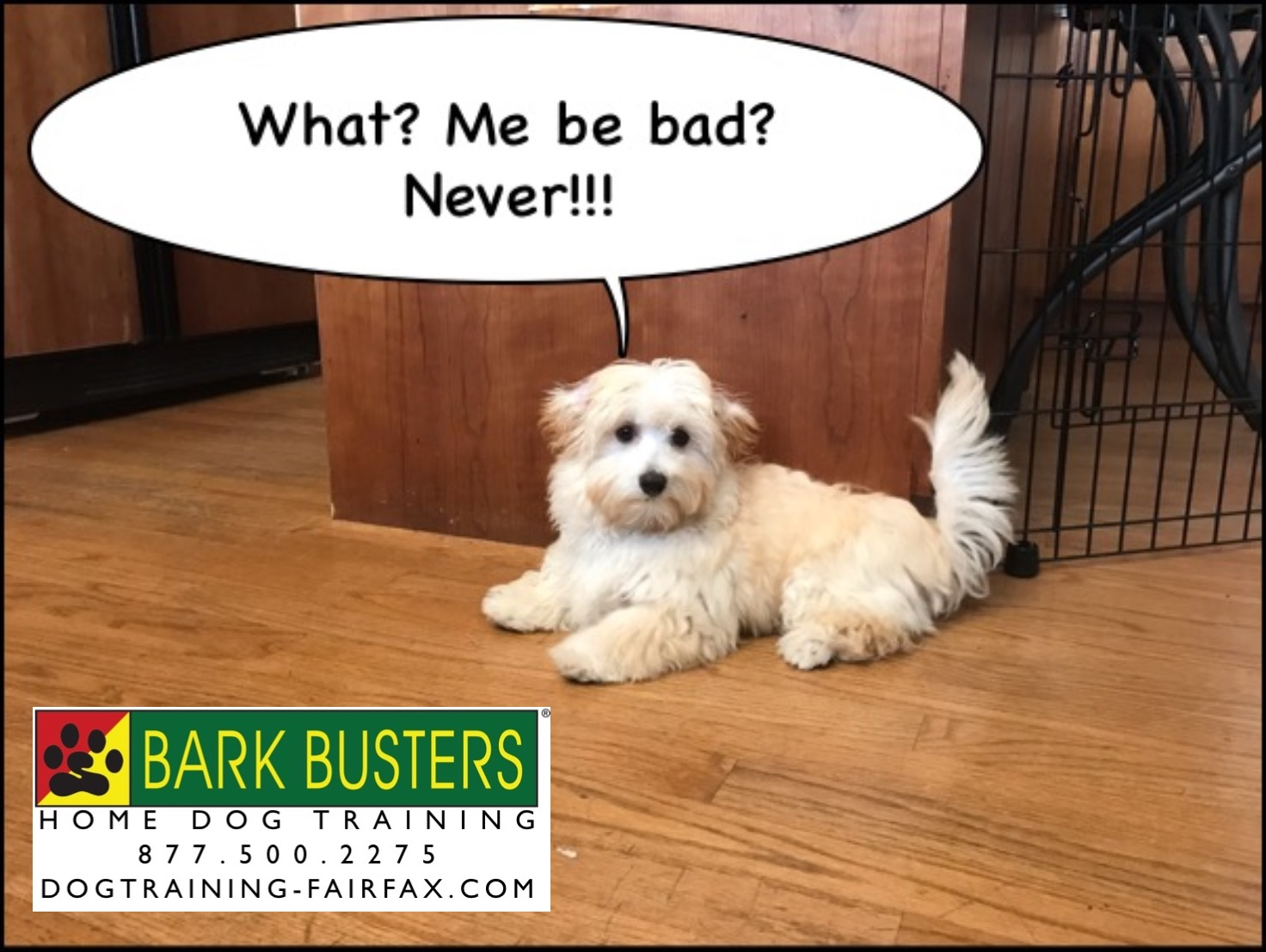 Maltipoo Puppy Training In Burke Va Dog Training Fairfax